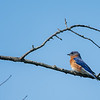 Eastern Bluebird _D756055