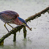 Green Heron   _D857624-Edit