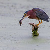 Green Heron   _D856859-Edit