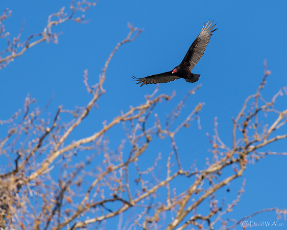 Turkey Vulture  _D858002