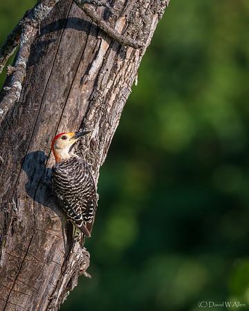 Red-bellied Woodpecker _D857813