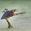 Green Heron   _D750536-Edit