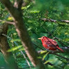 Summer Tanager   _D857787-Edit