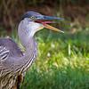 Great Blue Heron   _D856703