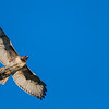 Northern Harrier  _D751551-Edit