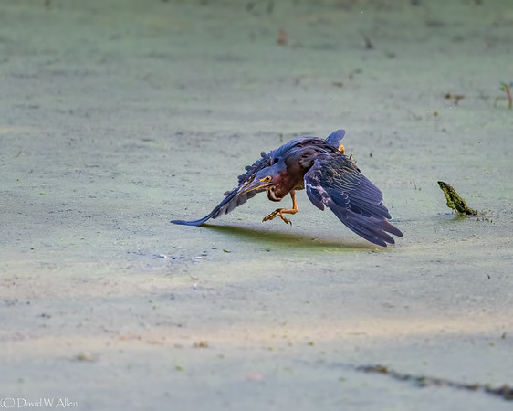 Green Heron Attacking  _D857336-Edit-2-Edit