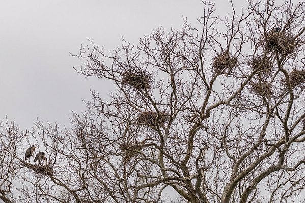 Heronry in Sycamore Tree  _D856427