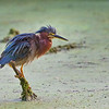 Green Heron   _D750545-Edit
