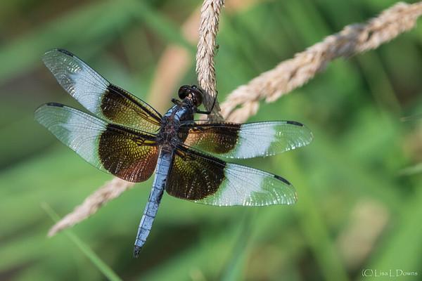 Widow Skimmer Dragonfly   _D758644