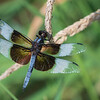 Widow Skimmer Dragonfly   _D758644