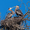 The Great Blue Heronry of Lenexa  _D859352-Edit-Edit