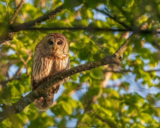 Barred Owl  _D850968-Edit-2