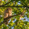 Barred Owl  _D850968-Edit-2