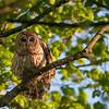 Barred Owl  _D750554