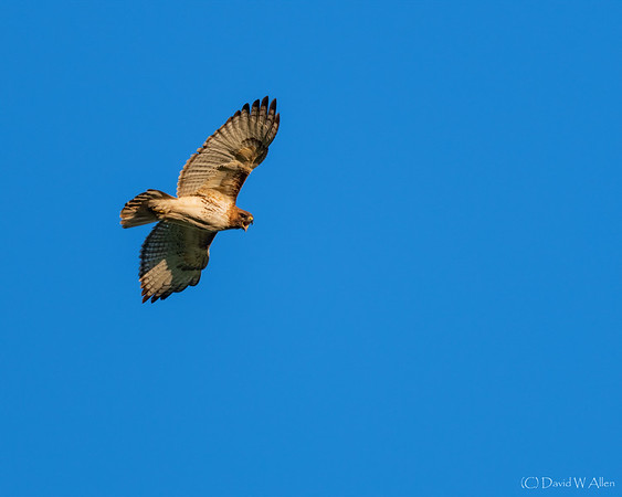 Northern Harrier  _D851894-Edit