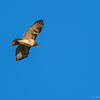 Northern Harrier  _D851894-Edit