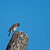 Eastern Bluebird Juvenile  _D750981