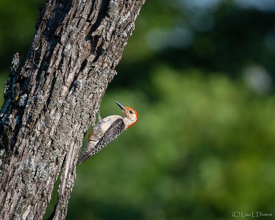 Red-bellied Woodpecker   _D750930