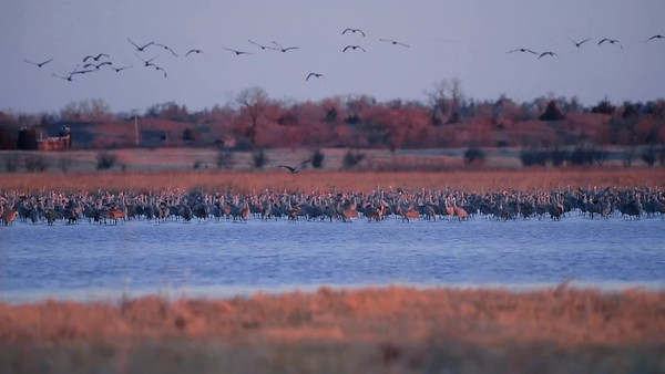 Video Clip of Sandhill Cranes (13 Seconds) D85_6106