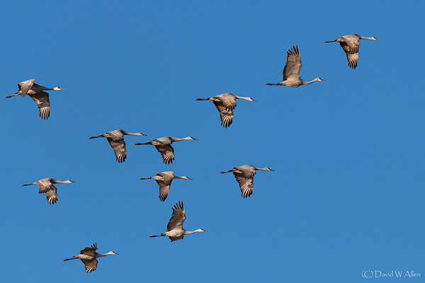 Sandhill Cranes in flight _D855817