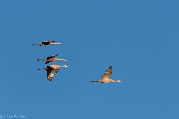 Sandhill Cranes in flight  _D855798