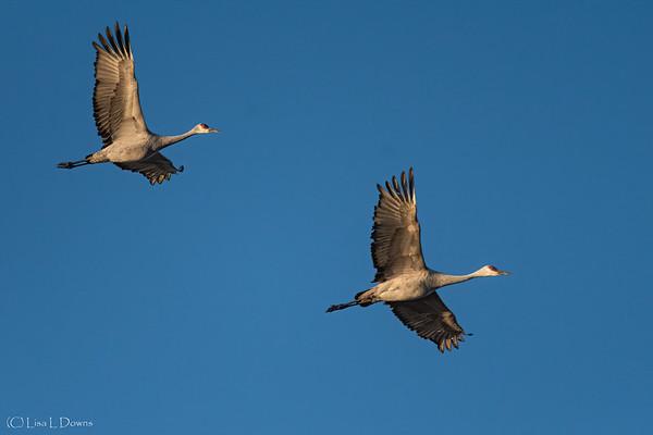 Sandhill Cranes in flight   _D754480-Edit