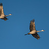 Sandhill Cranes in flight   _D754480-Edit