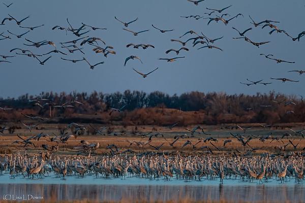 Sandhill Cranes at sunrise  _D754352-Edit