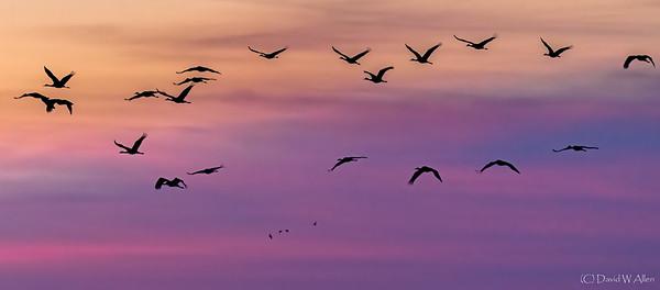 Sandhill Cranes at dawn  _D855564-Edit