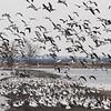 Snow Geese On The Beach