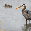 Great Blue Heron DWA_0822