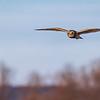 Short Eared Owl In Flight_D850212-Edit