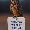 Short Eared Owl _D850368-Edit
