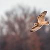 Short Eared Owl In Flight_D500243-Edit