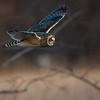 Short-Eared Owl at Dusk    D754211-Edit