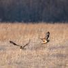 Short Eared Owls _D850057-Edit