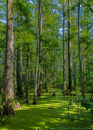 Cypress Trees  _D859489