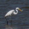 Great Egret   _D851039