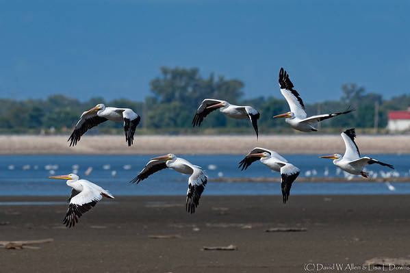 American White Pelican   _D850749