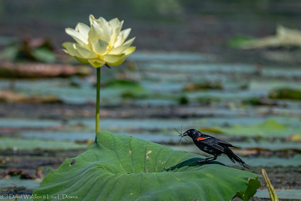 Red Winged Black Bird  _D859797