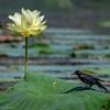 Red Winged Black Bird  _D859797