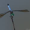 Blue Dasher Dragonfly  _D859689