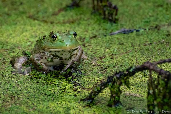 Bull Frog    _D759462