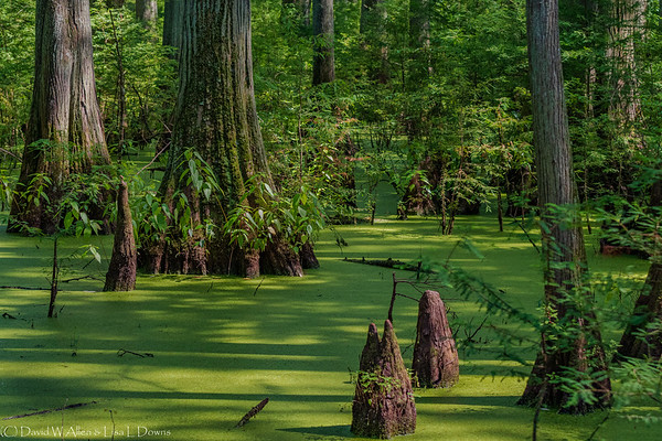 Cypress Trees   _D759470