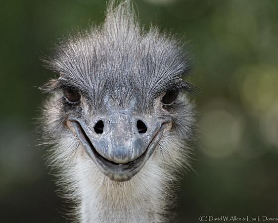 Ostrich    _D759192