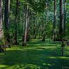 Cypress Trees  _D859483