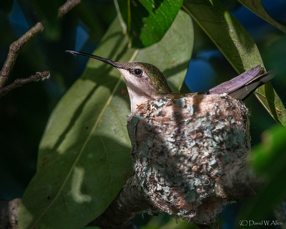 Ruby-Throated Hummingbird on Nest  _D855149