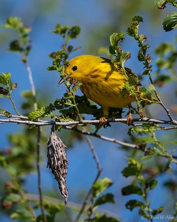 Yellow Warbler _D851619