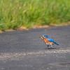 Eastern Bluebird _D759696