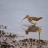 Least Sandpiper  _D852181-Edit-Edit